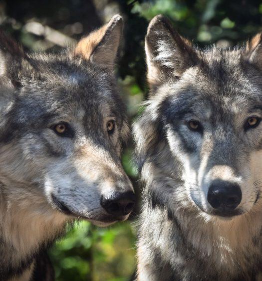Die 2 Wölfe Hettl